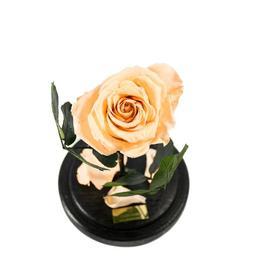 Trandafir Criogenat Crem Queen Roses in cupola de sticla