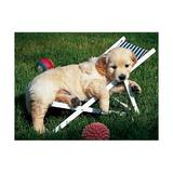 Puzzle golden retriever, 500 piese - Ravensburger