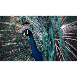 Tablou Canvas cu Animale 964 - 20 x 35 cm