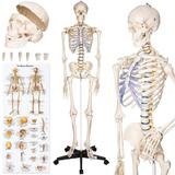 Model schelet anatomic - D&S